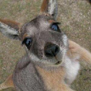 The Kangaroo Song